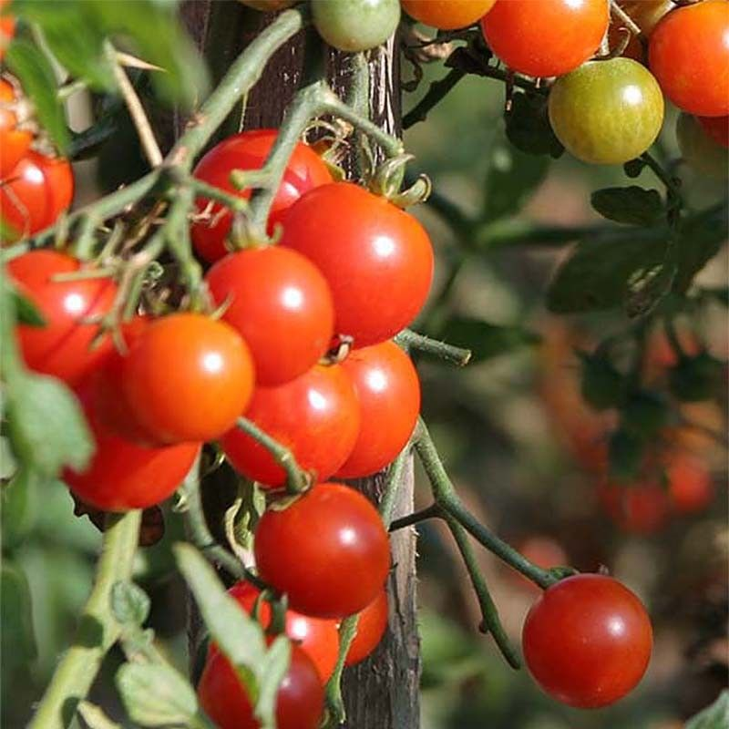Tomate Sweetbaby - Tomate cerise - Vilmorin