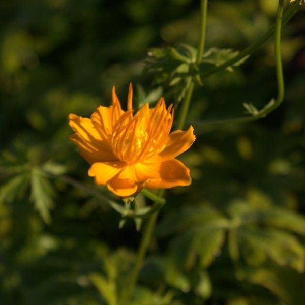 Trolle - Trollius chinensis Golden Queen