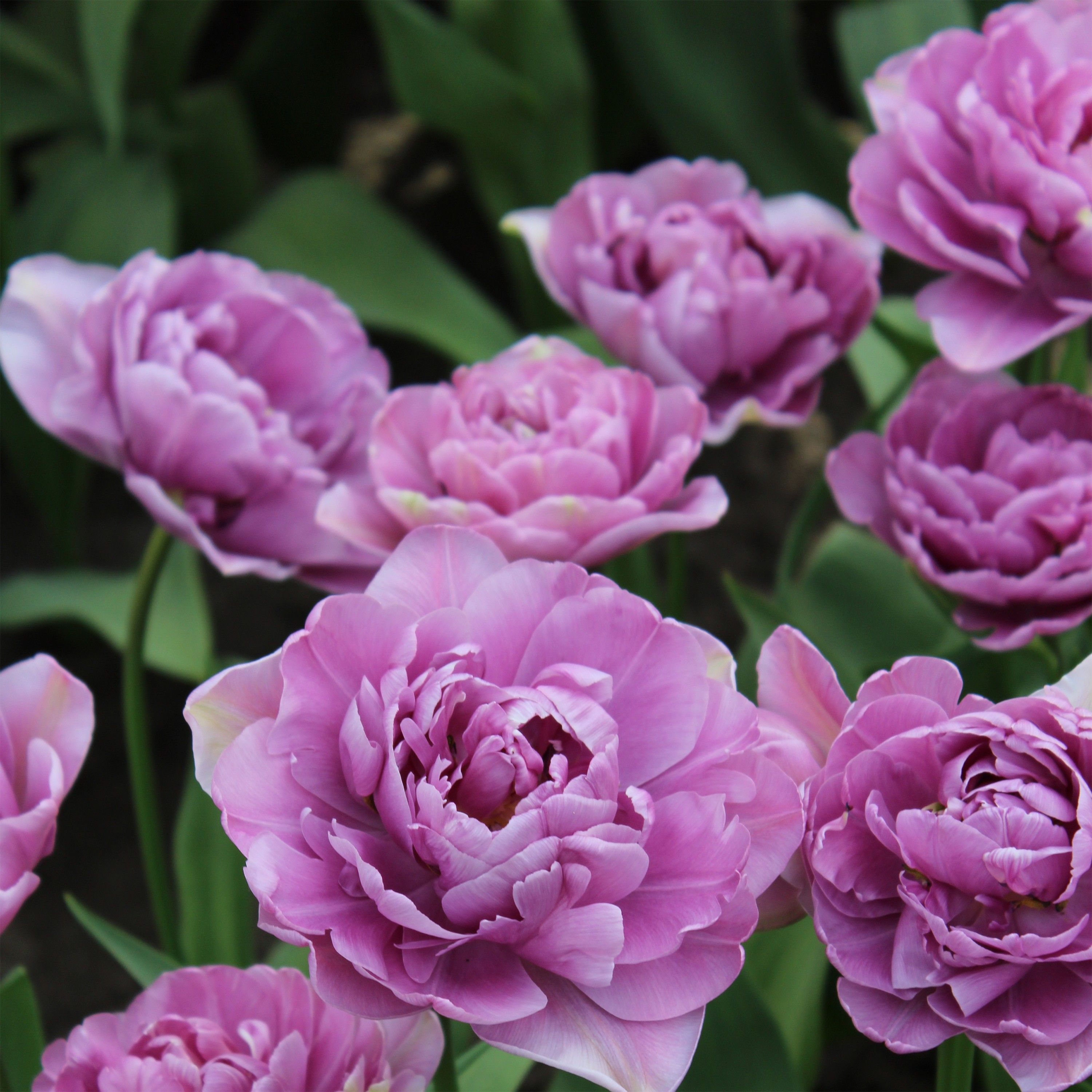 Tulipe Double Lilac Perfection