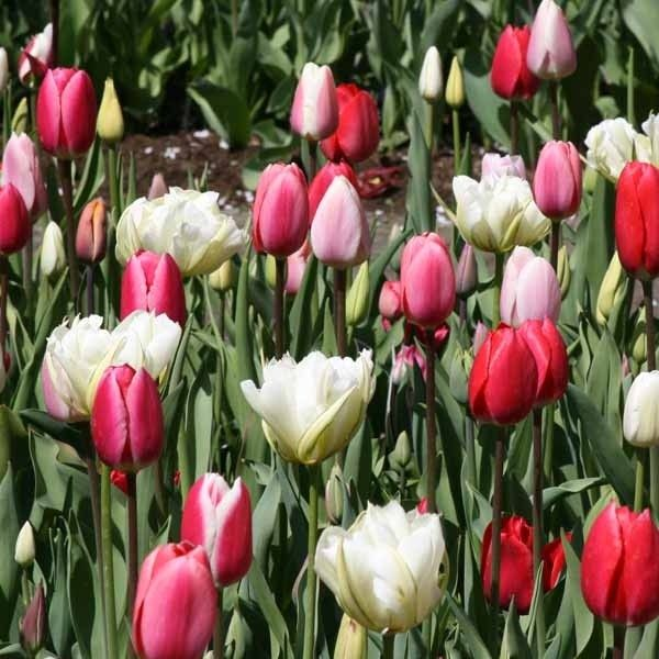 Harmonie Tulipes Lollipops