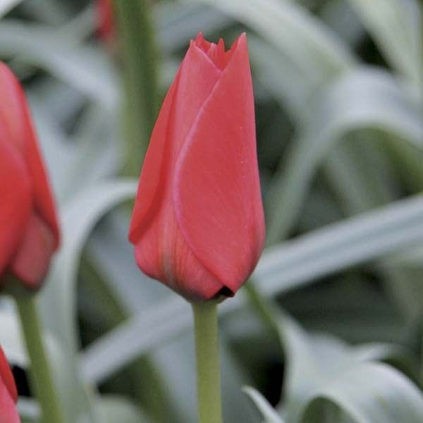 Tulipe Botanique Red Hunter