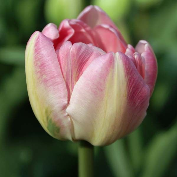 Tulipe Double Up Star