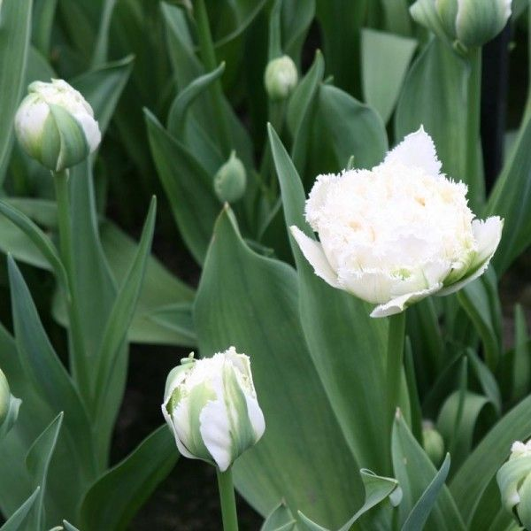 Tulipe Dentelée Double Snow Crystal