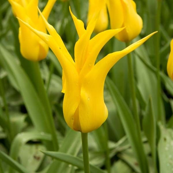 Tulipe Fleur De Lis West Point