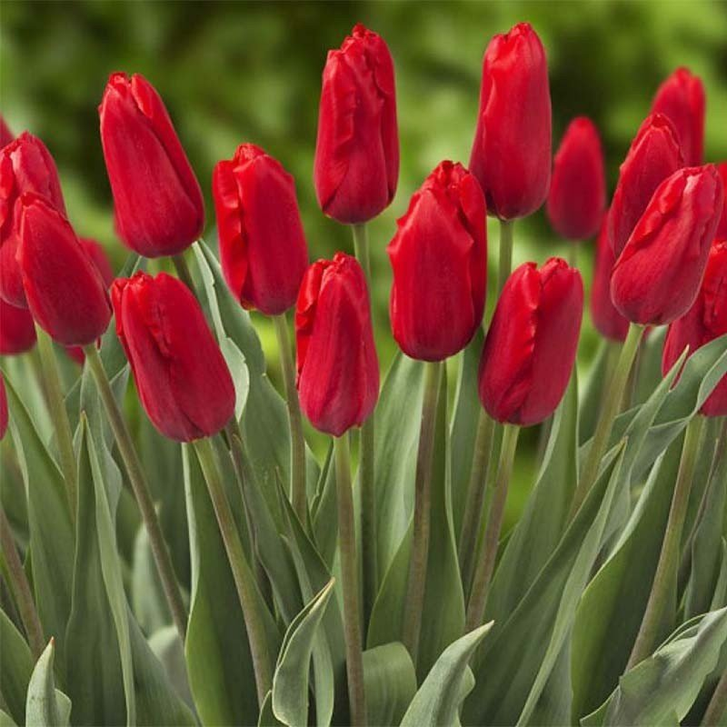 Tulipe triomphe Red Proud