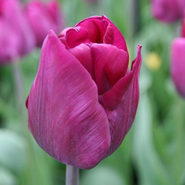 Tulipe Triomphe Purple Lady