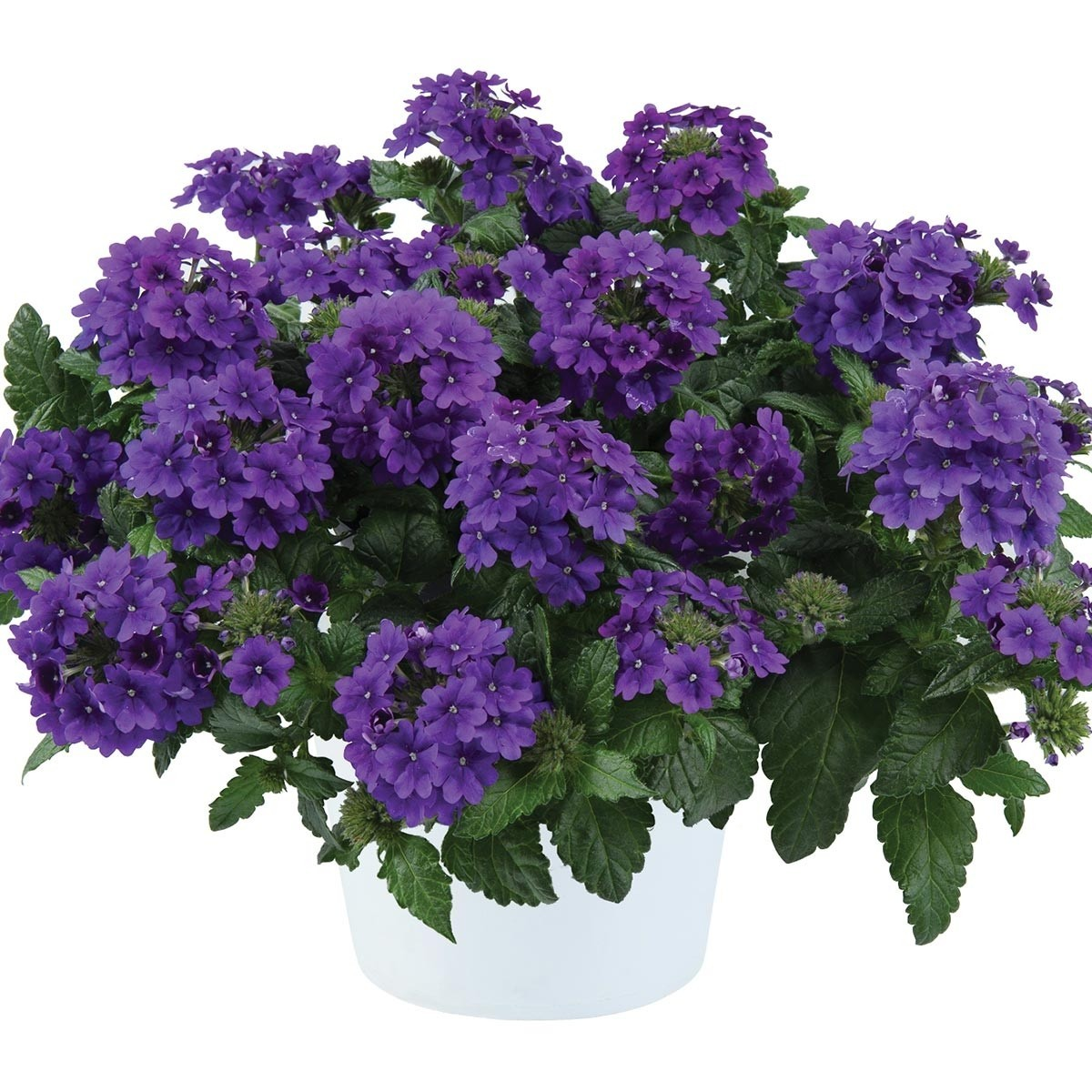 Verveine Virgo up Purple - Verveine des jardins