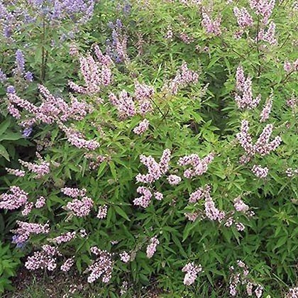 Vitex agnus-castus Pink Pinnacle