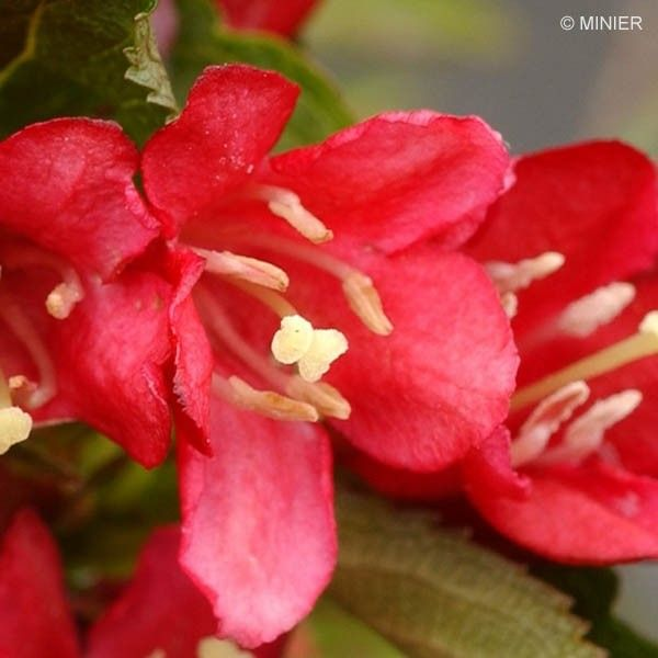 Weigela Nain rouge Courtanin