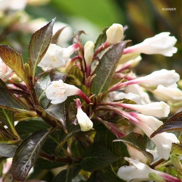 Weigela Black and White