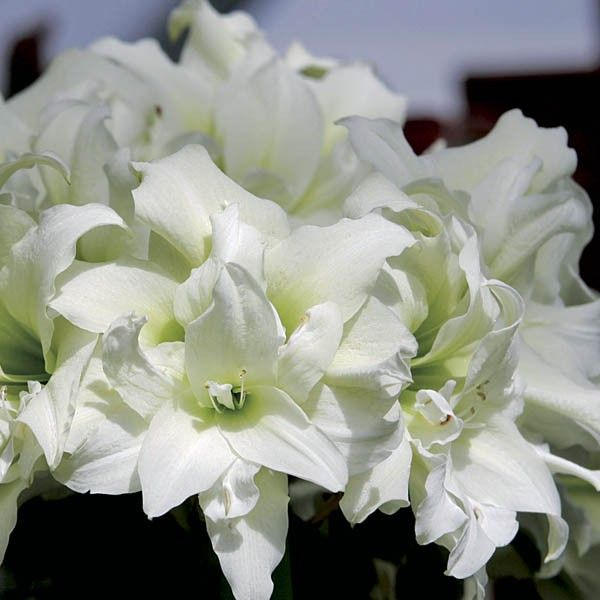 Amaryllis Double Ice Queen