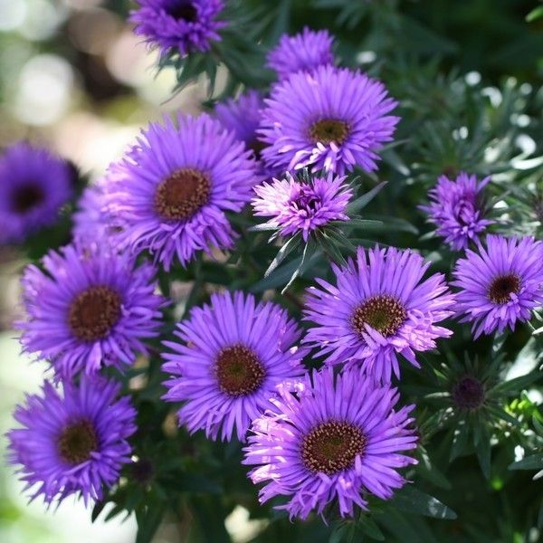 Aster novae-angliae Purple Dome - Aster d'automne