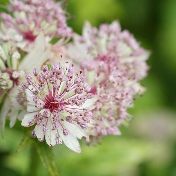 Astrance - Astrantia major Sunningdale Variegated