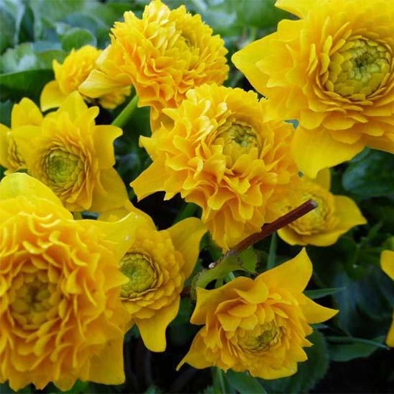 Caltha palustris Plena - Populage double
