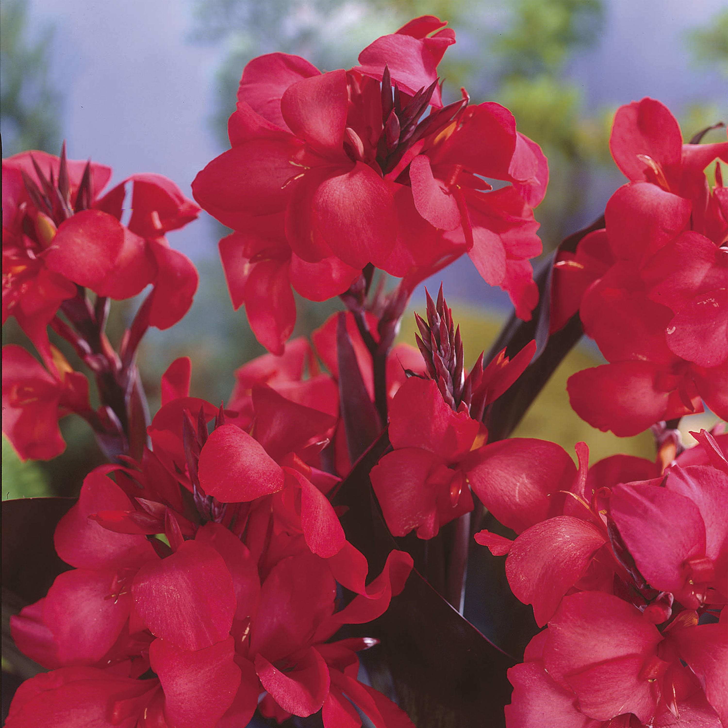 Canna Red Wine - Balisier