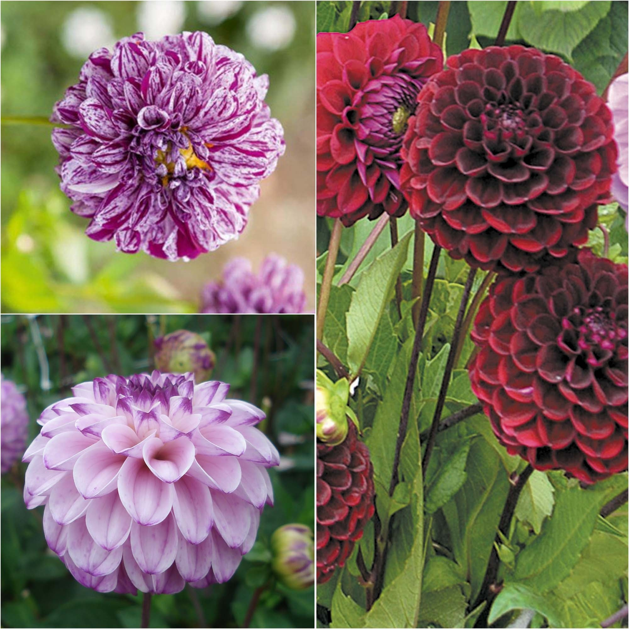Collection 3 dahlias balle, tons frais
