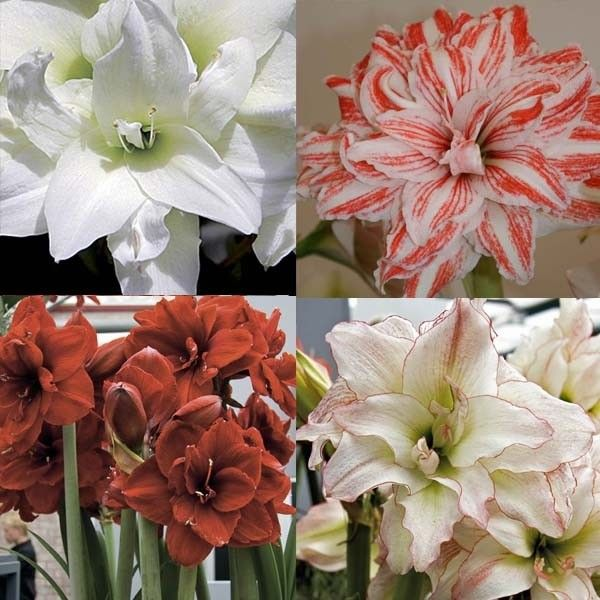 Collection de 4 Amaryllis Doubles