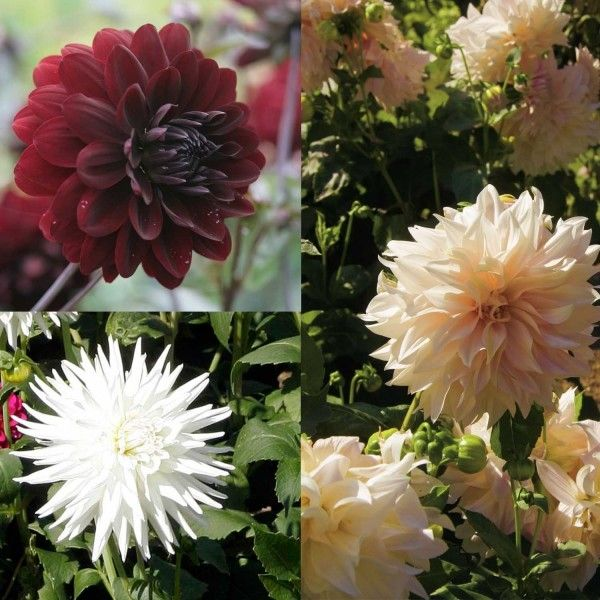 Collection de 4 Dahlias Noir et Blanc