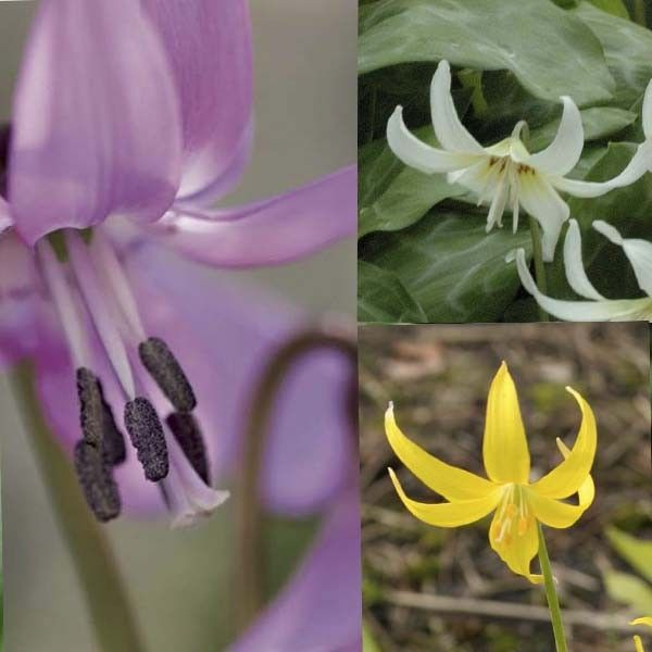 Collection Erythronium