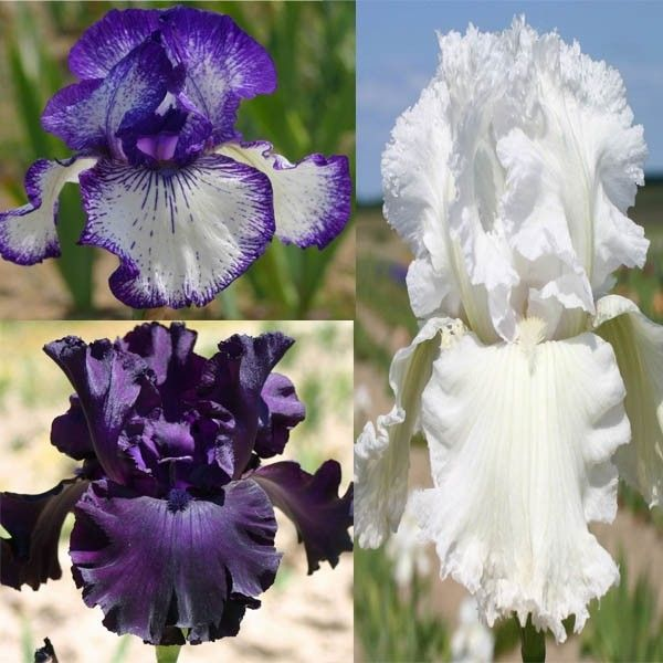 Collection de 3 Iris Germanica