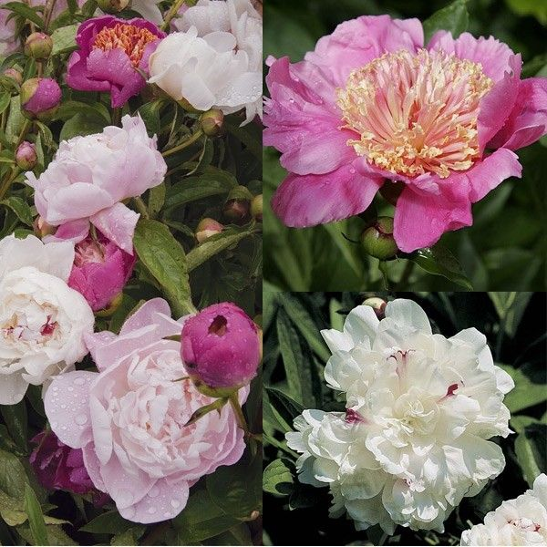 Collection 3 Pivoines Romantique