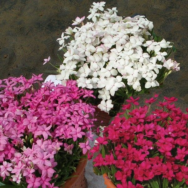 Rhodohypoxis collection 3 x 3