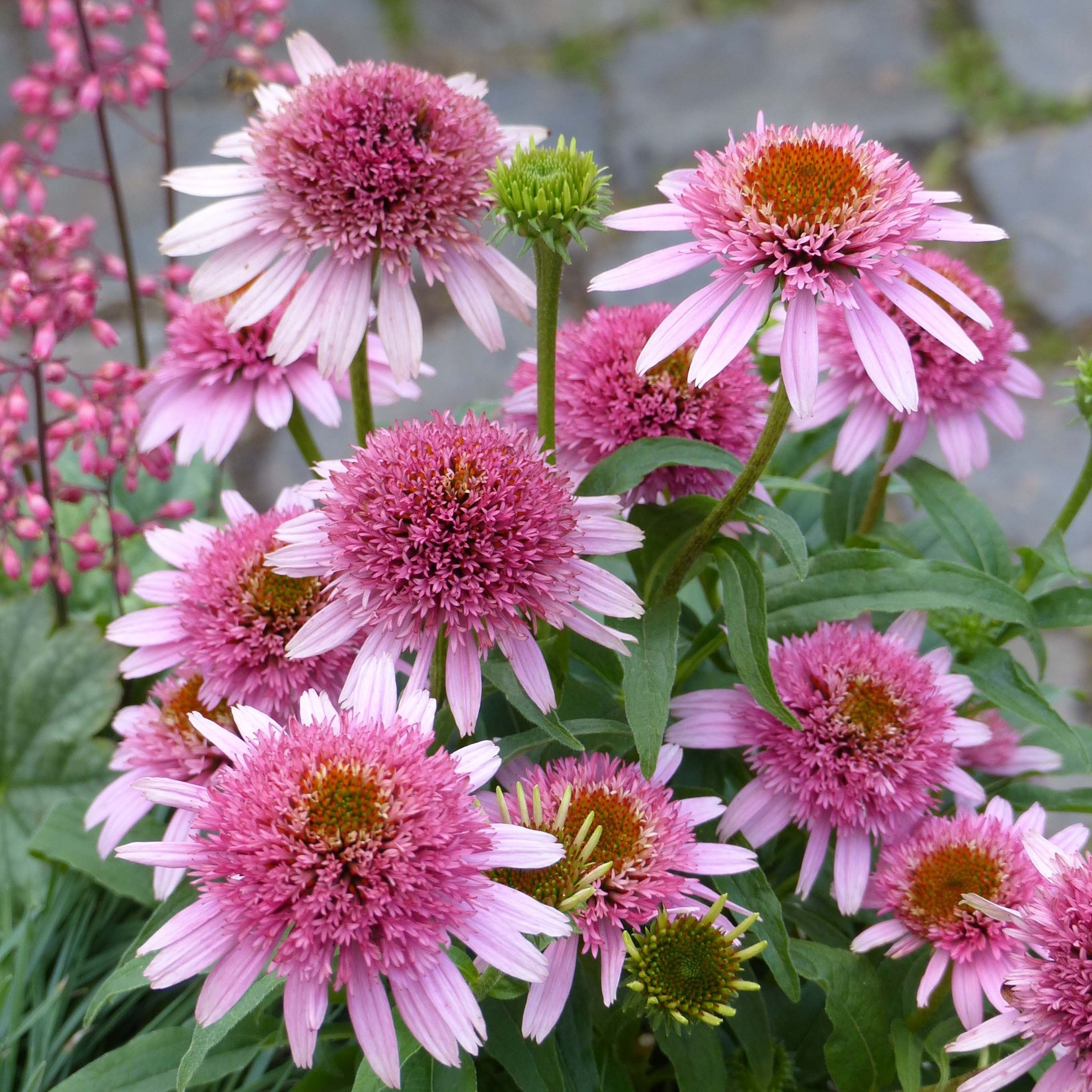 Echinacea Butterfly Kisses - Rudbeckia pourpre