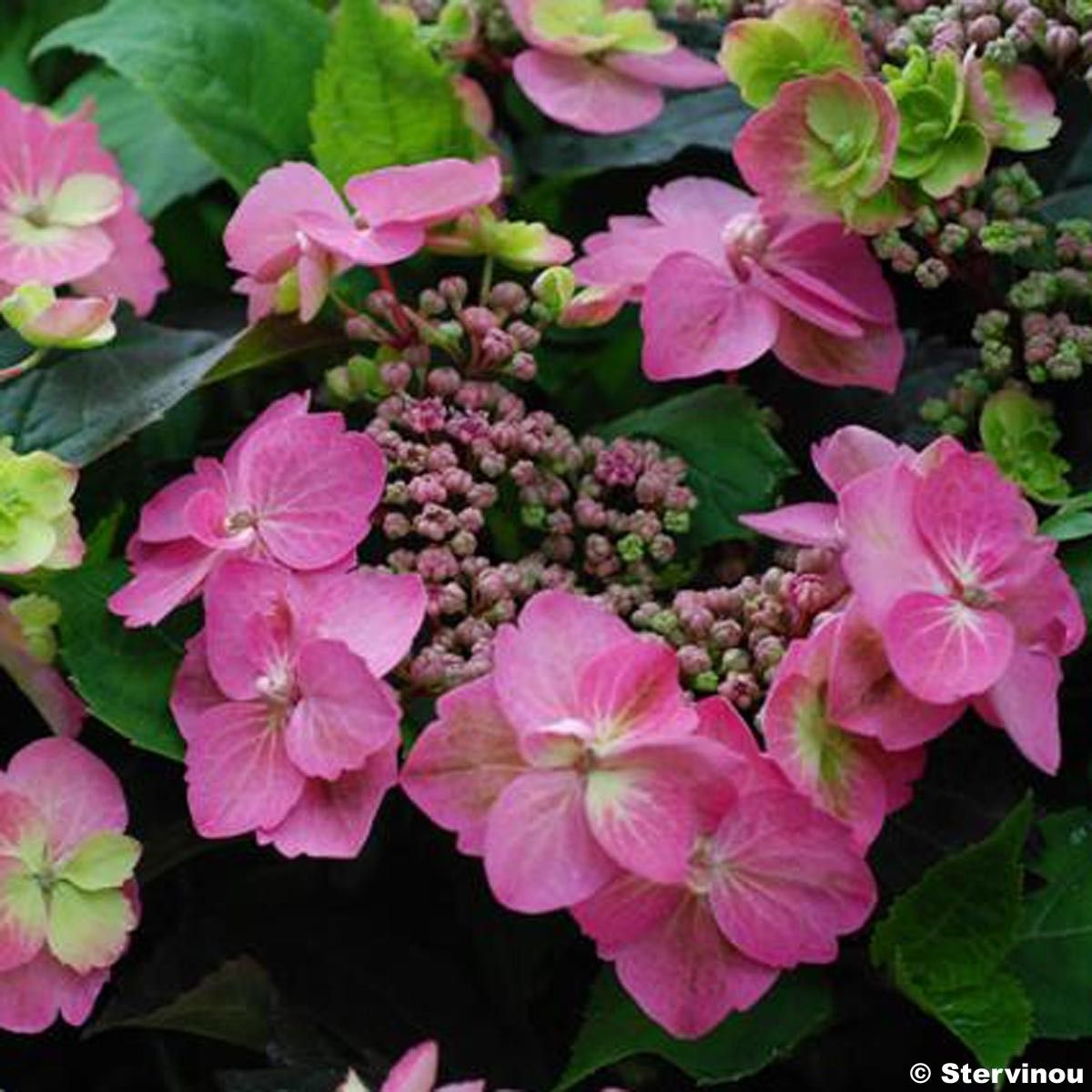 Hortensia - Hydrangea serrata Cotton Candy
