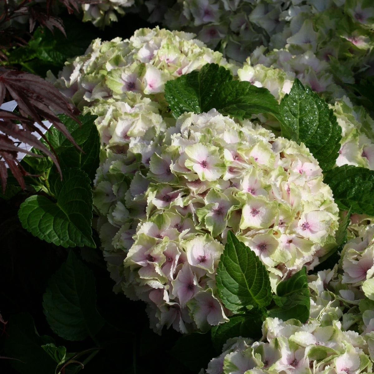 Hortensia - Hydrangea macrophylla Magical Summer Green