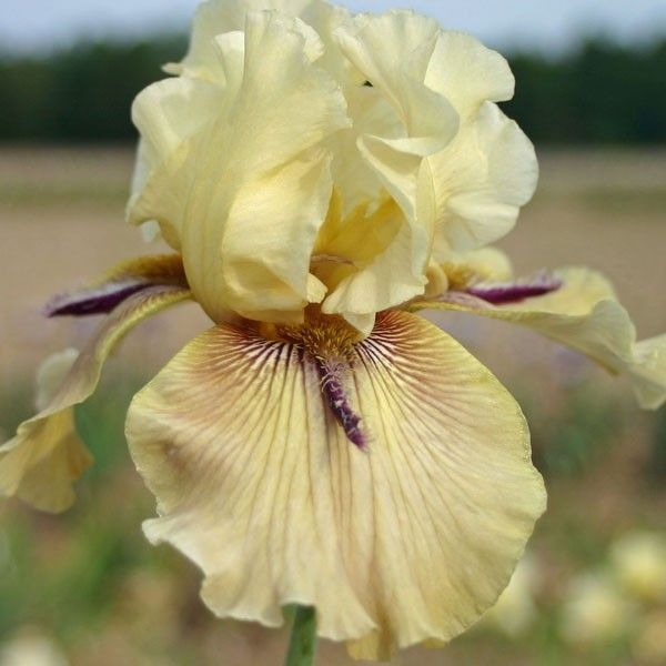 Iris germanica Thornbird