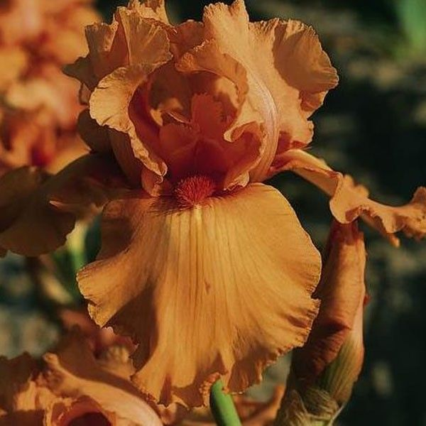 Iris germanica Orange Embers