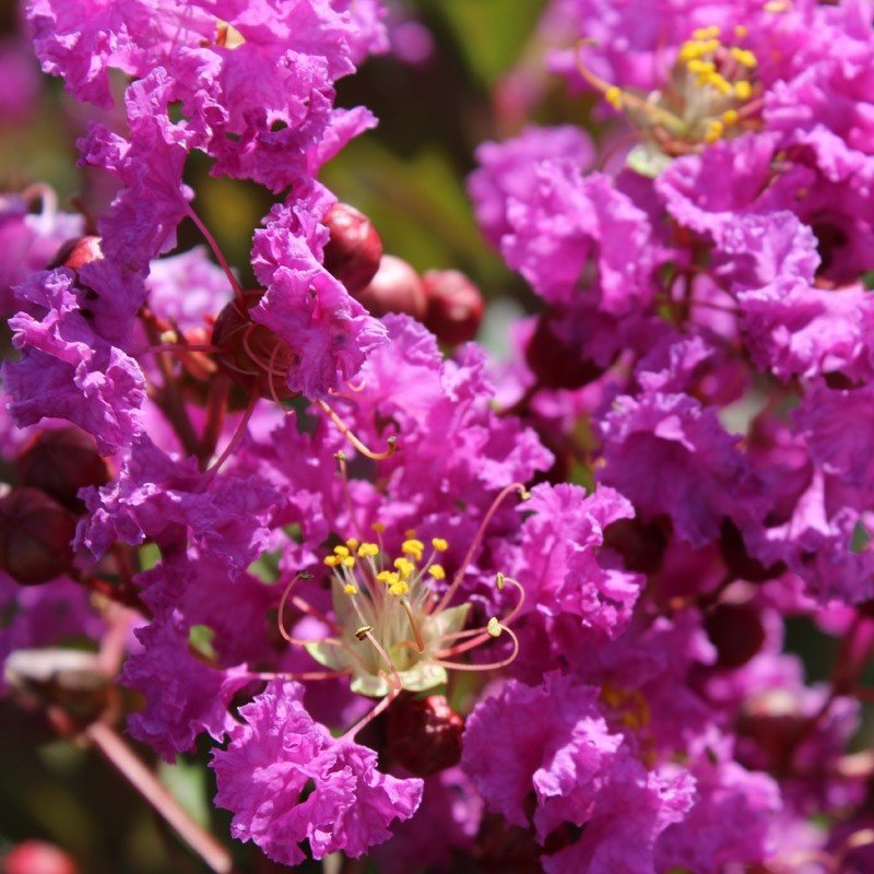 Lagerstroemia indica Terre Chinoise - Lilas des Indes