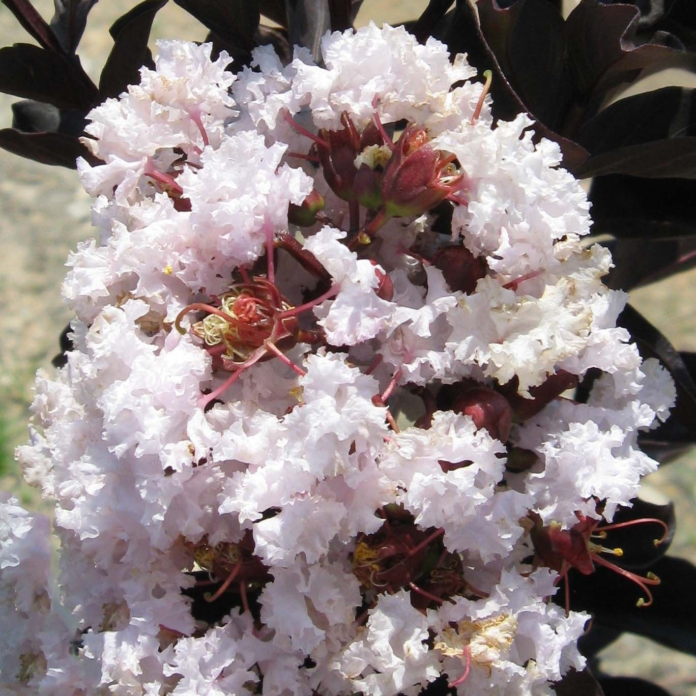Lagerstroemia indica Black Solitaire® Blush - Lilas des Indes