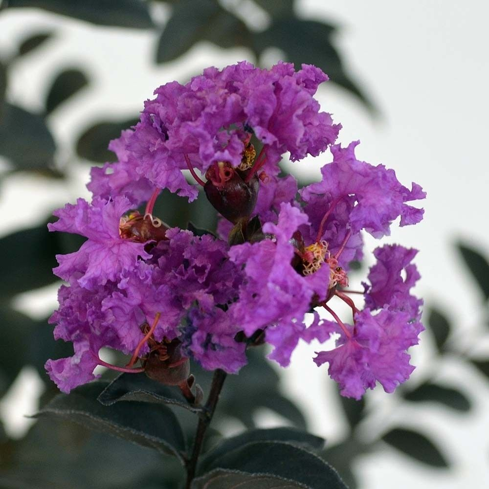 Lagerstroemia indica Black Solitaire Purely Purple - Lilas des Indes