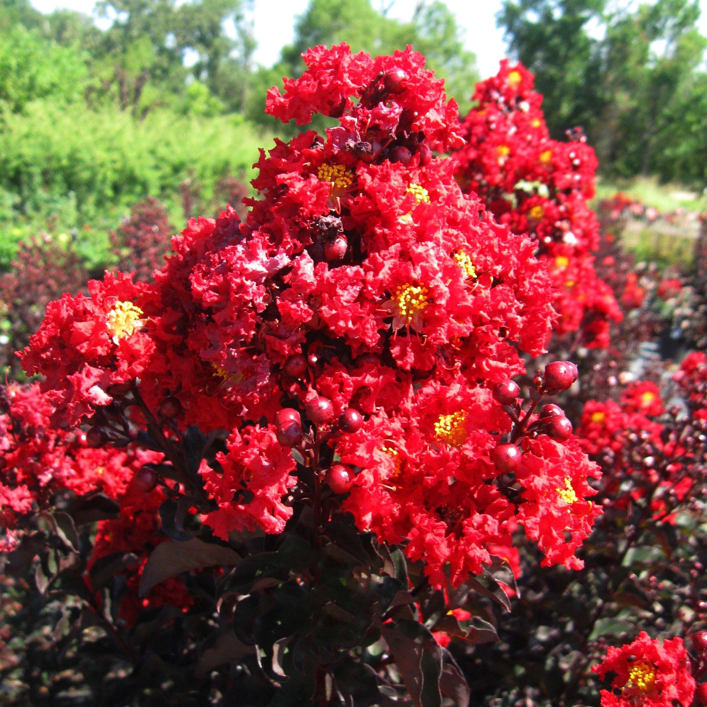 Lagerstroemia indica Black Solitaire Red Hot - Lilas des Indes