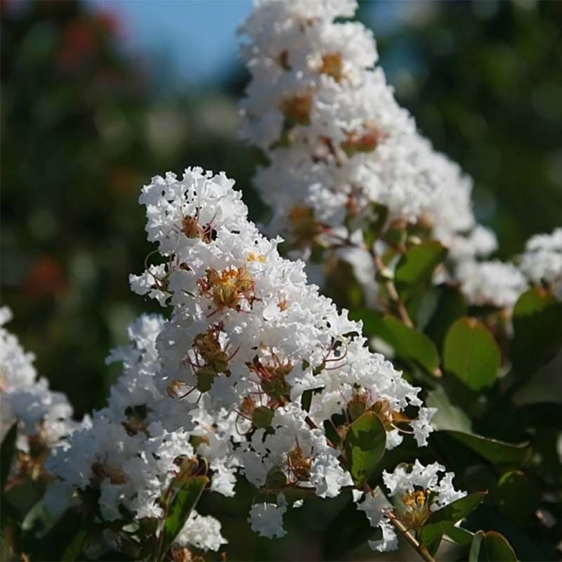 Lagerstroemia indica Summer Charm Acoma - Lilas des Indes