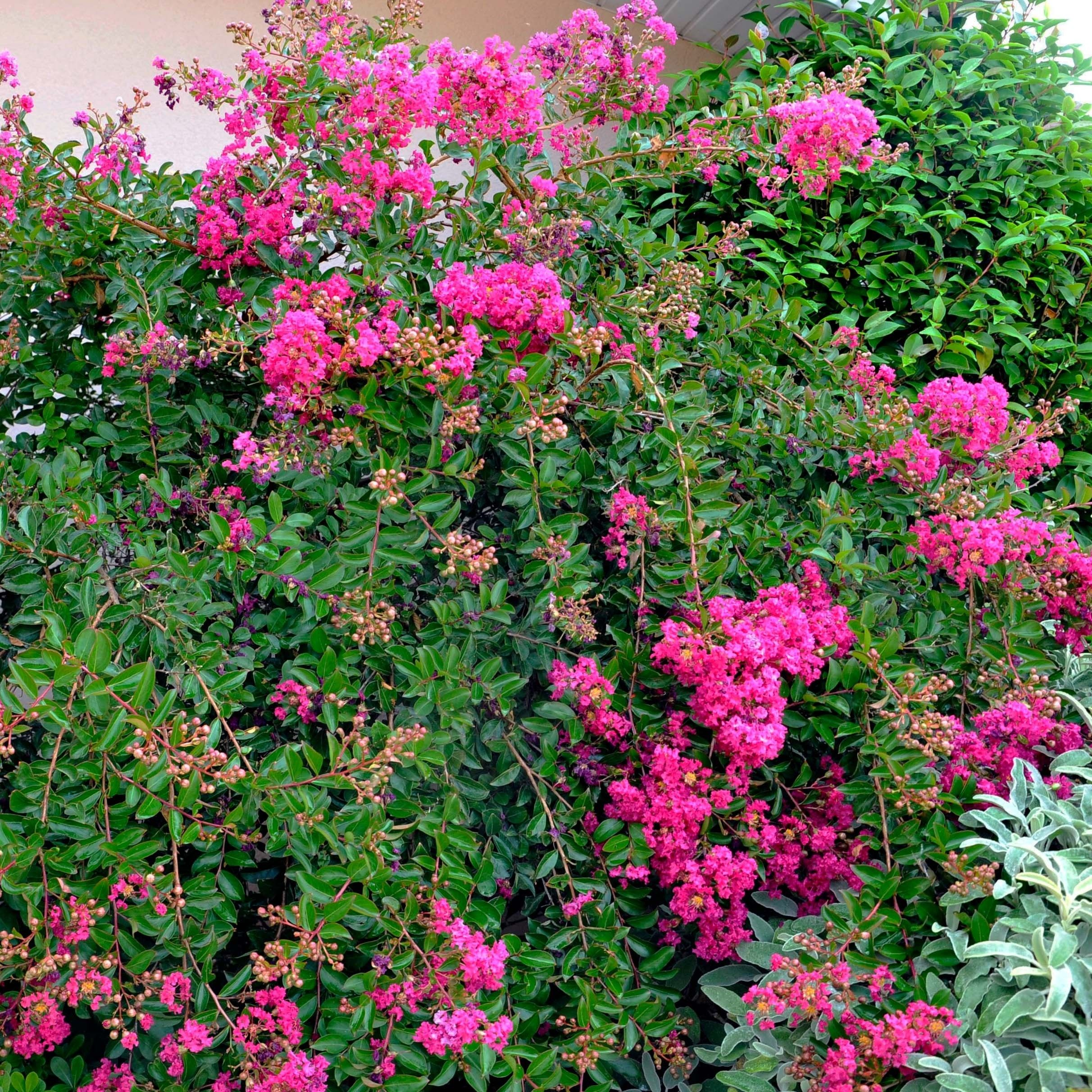 Lagerstroemia Mimie Fuchsia - Lilas de indes couvre-sol