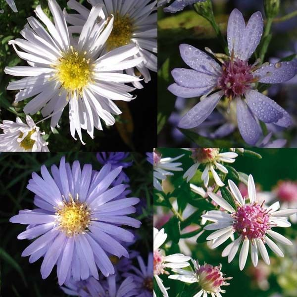 Massif Asters