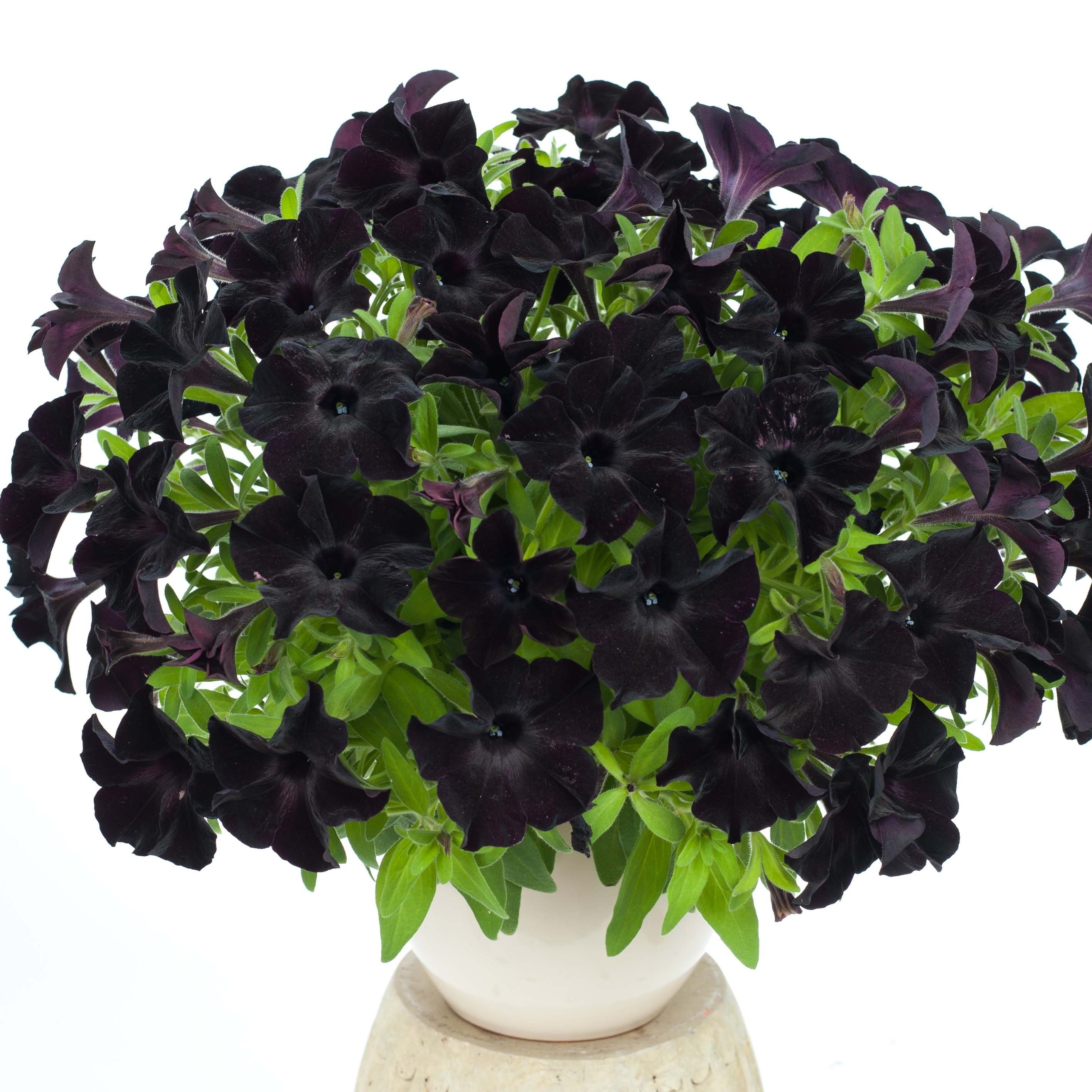 Pétunia Black Ray