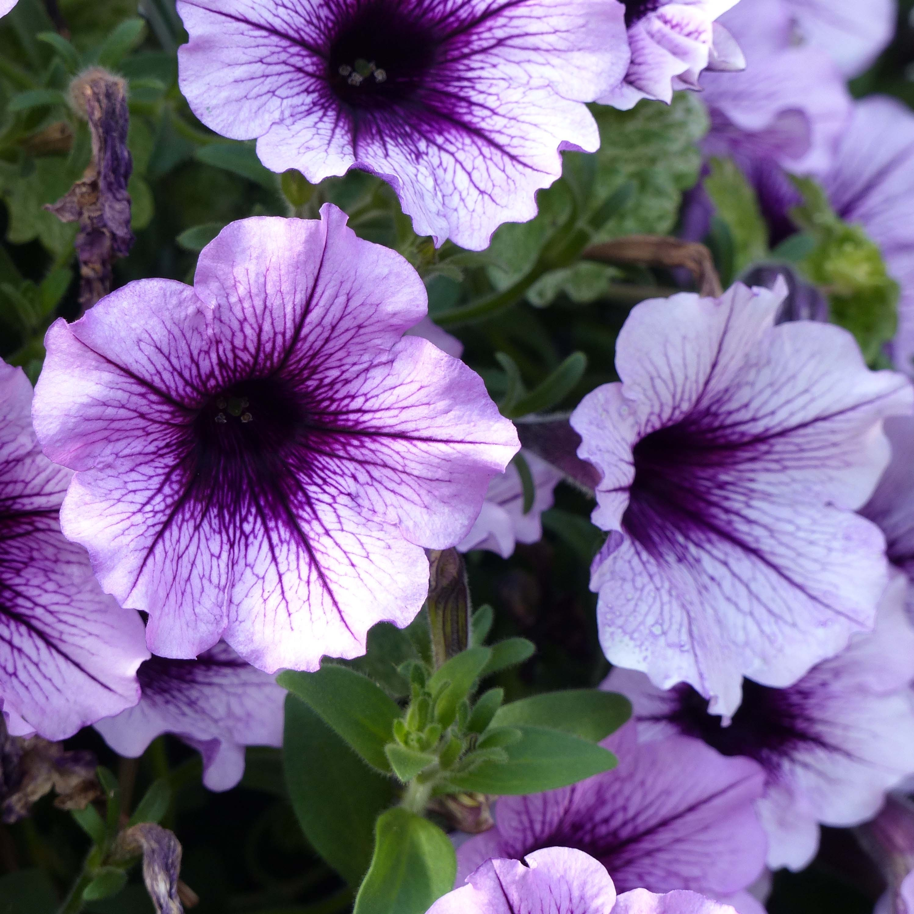 Pétunia Supertunia Bordeaux
