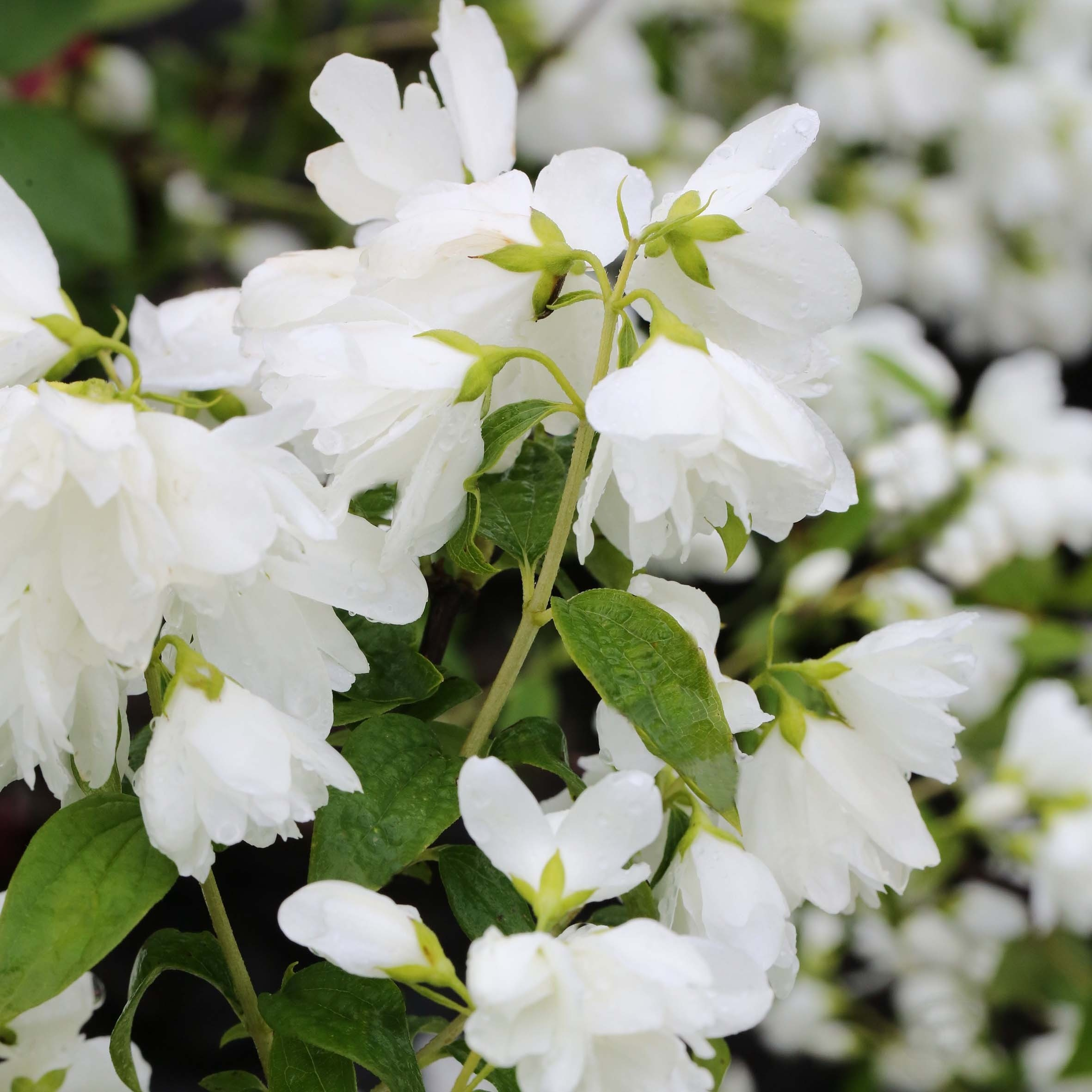 Philadelphus Little White Love - Seringat nain.