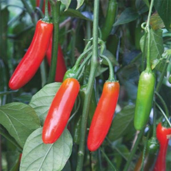 Piment Serrano - Piment mexicain fort
