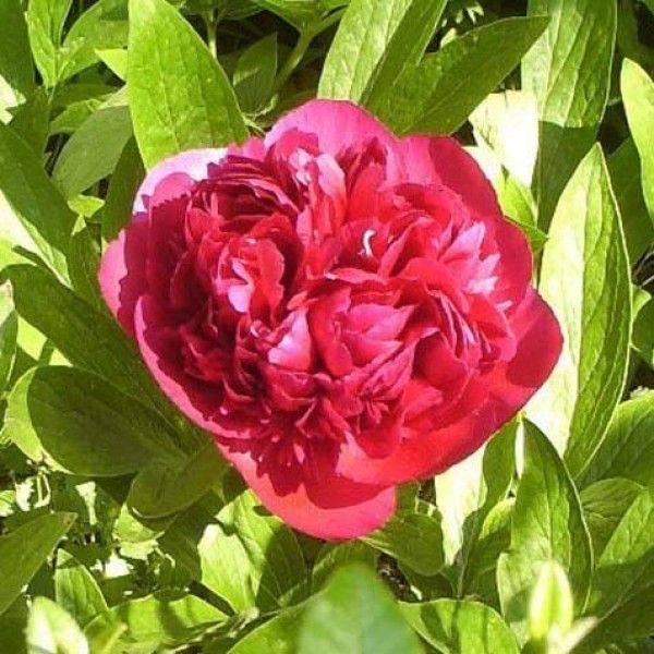 Pivoine officinale Rubra Plena