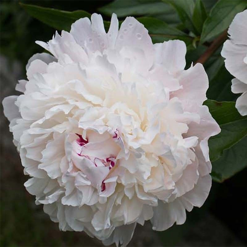 Pivoine officinale Alba Plena