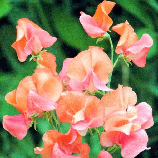 Pois de Senteur Prince of Orange  - Lathyrus odoratus