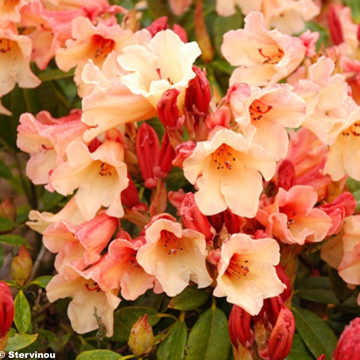 Rhododendron Jingle Bells - Rhododendron nain