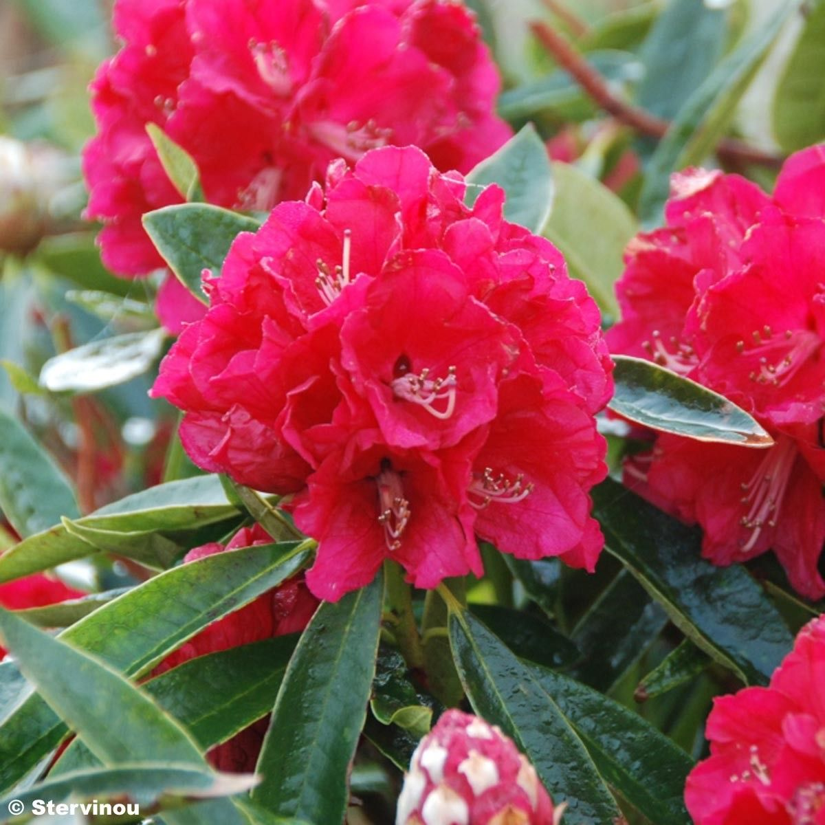 Rhododendron arboreum Rouge - Grand Rhododendron