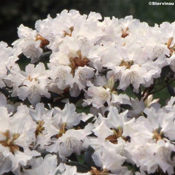 Rhododendron Dora Amateis - Rhododendron nain