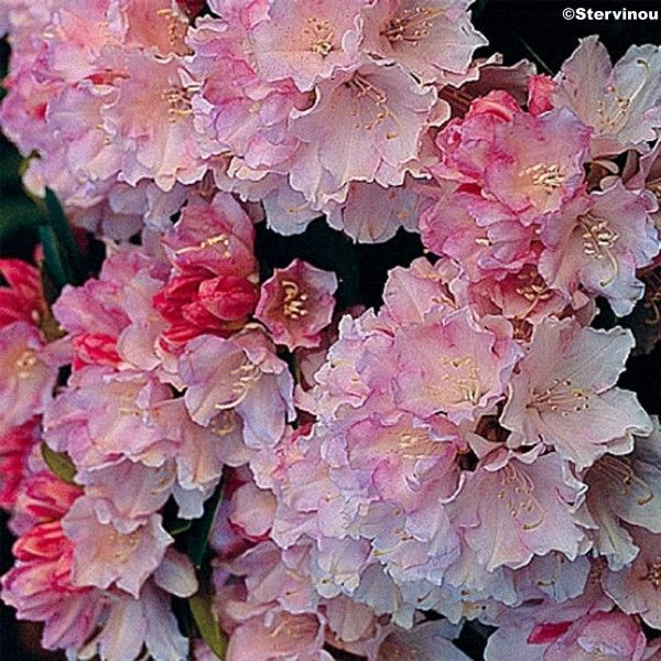 Rhododendron Dream Land - Rhododendron nain