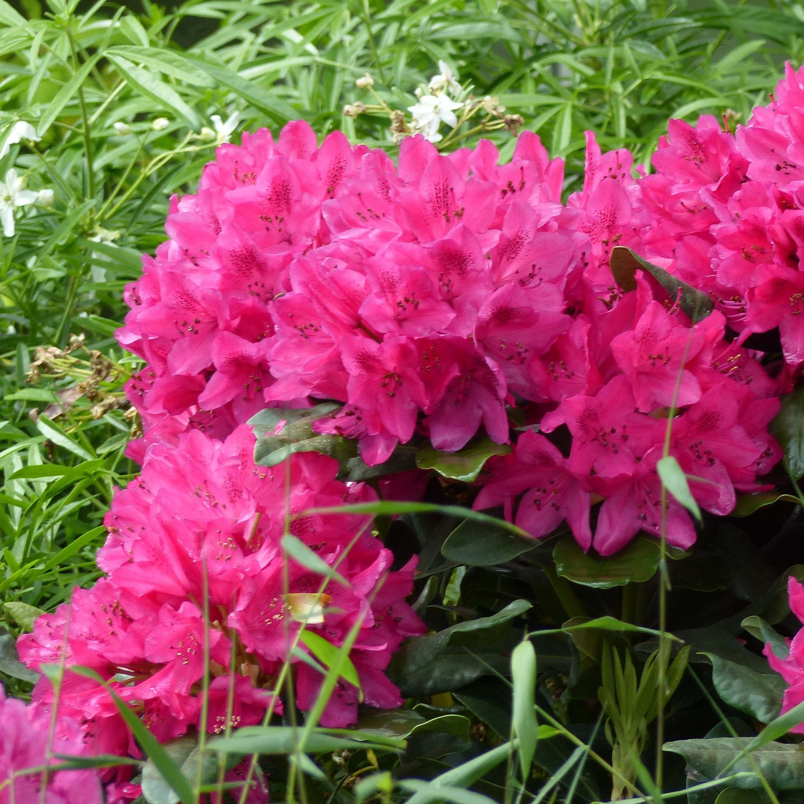 Rhododendron Marie Forte (Madame Fortier) - Grand Rhododendron